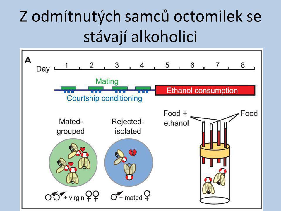 Z odmítnutých samců octomilek se stávají alkoholici