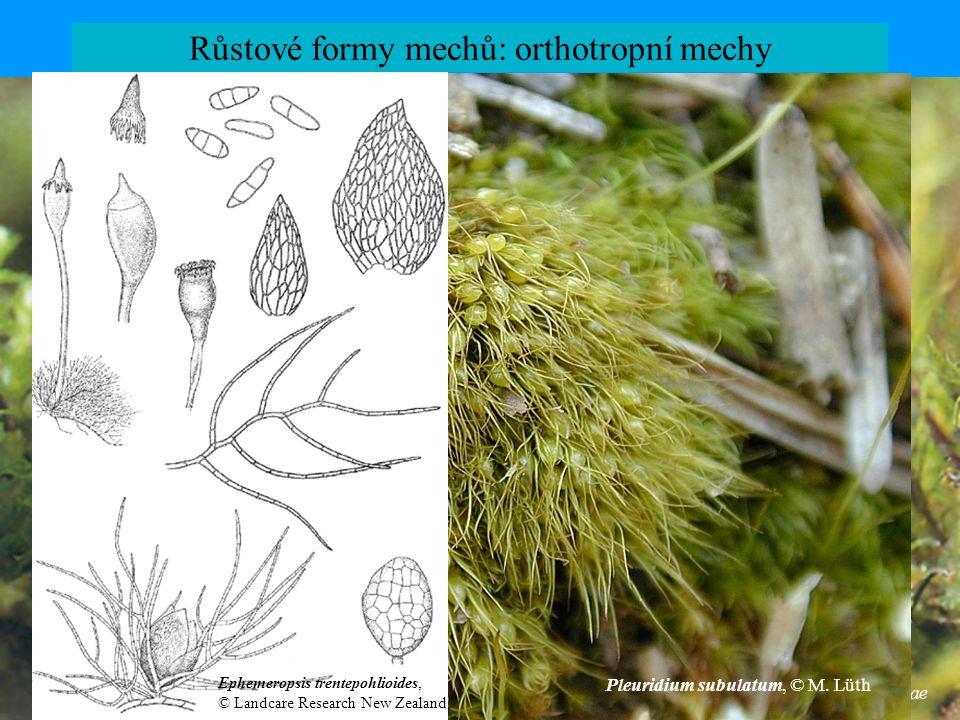 Buxbaumia minakatae Růstové formy mechů: orthotropní mechy Pleuridium subulatum, © M. Lüth Ephemeropsis trentepohlioides, © Landcare Research New Zeal