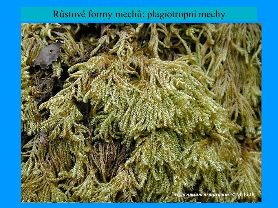 Růstové formy mechů: plagiotropní mechy Hypnum plumaeforme Hyocomium armoricum, © M. Lüth