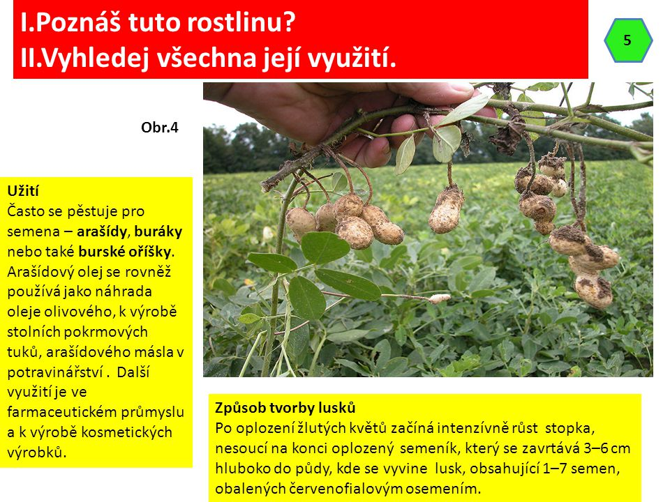Podzemnice olejná (Arachis hypogea) je rostlina z čeledi bobovitých.