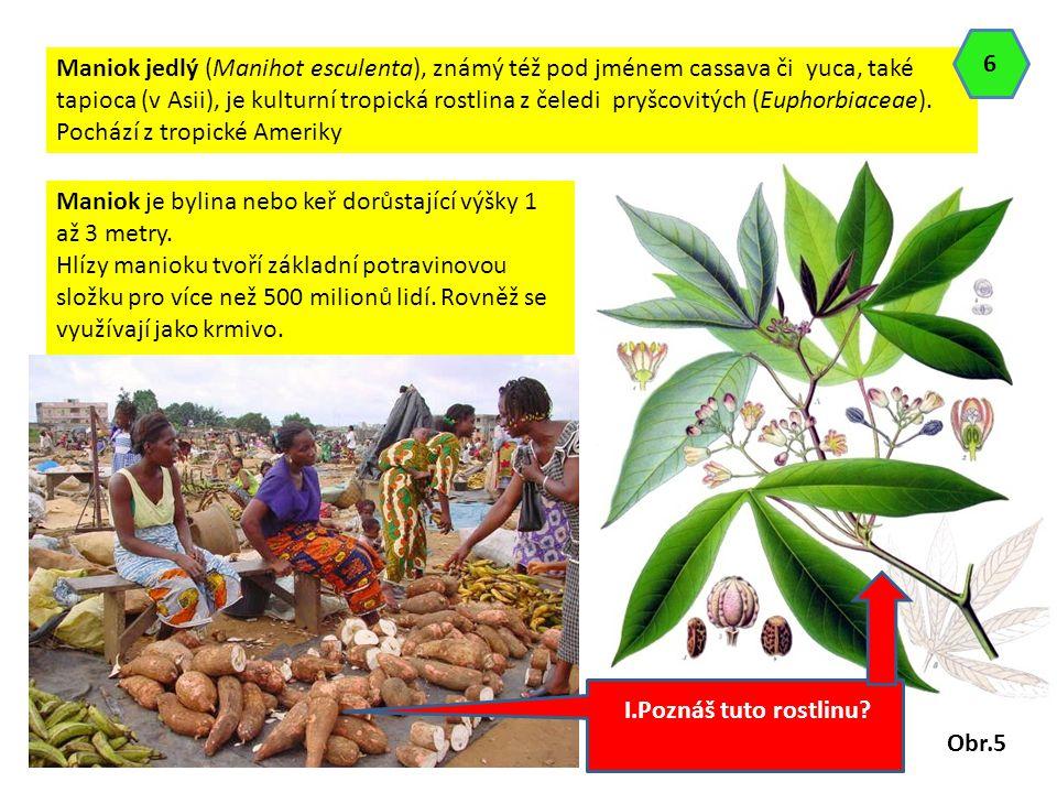 Maniok jedlý (Manihot esculenta), známý též pod jménem cassava či yuca, také tapioca (v Asii), je kulturní tropická rostlina z čeledi pryšcovitých (Eu