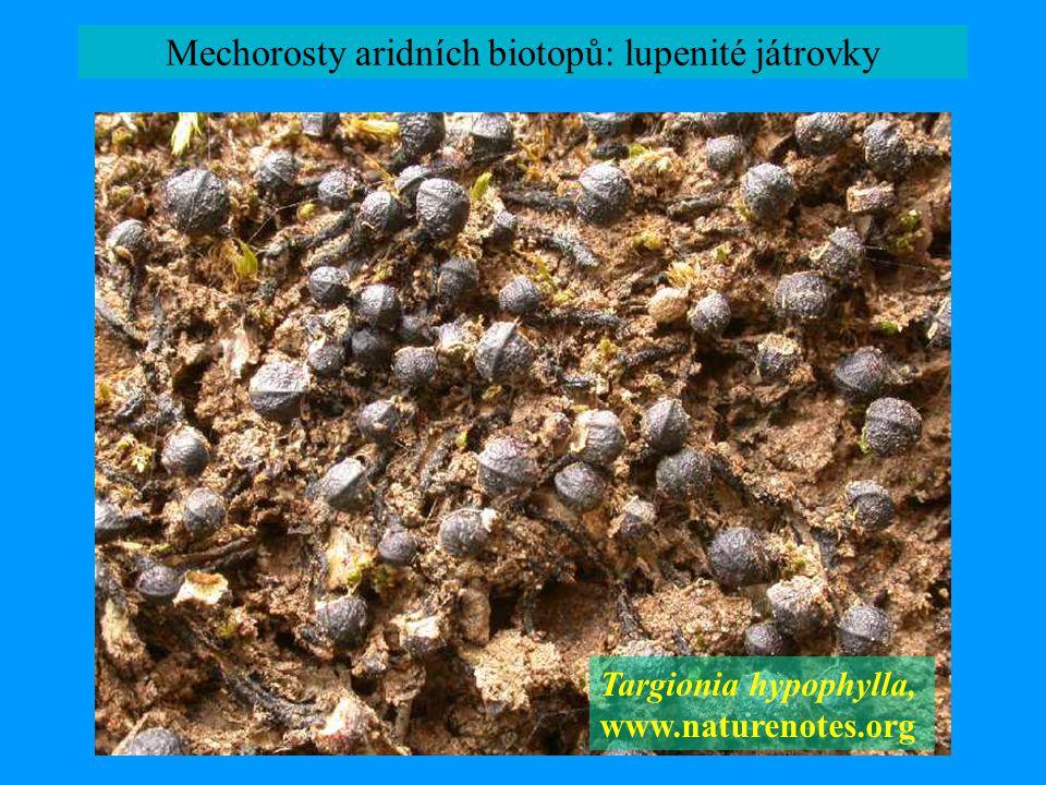 Mechorosty aridních biotopů: lupenité játrovky Targionia hypophylla, www.naturenotes.org