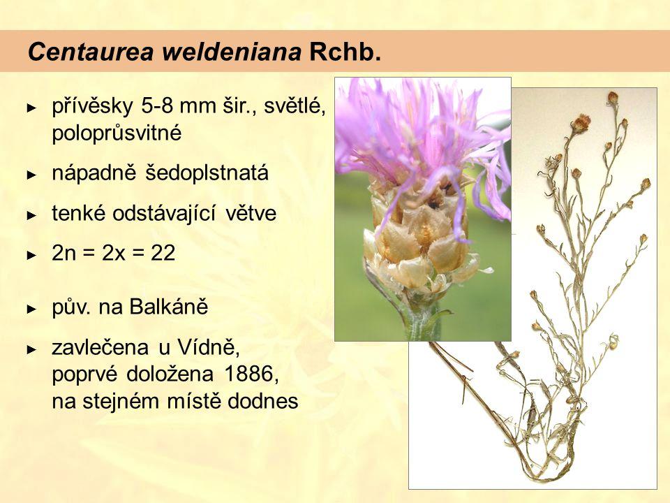 Centaurea weldeniana Rchb. ► přívěsky 5-8 mm šir., světlé, poloprůsvitné ► nápadně šedoplstnatá ► tenké odstávající větve ► 2n = 2x = 22 ► pův. na Bal