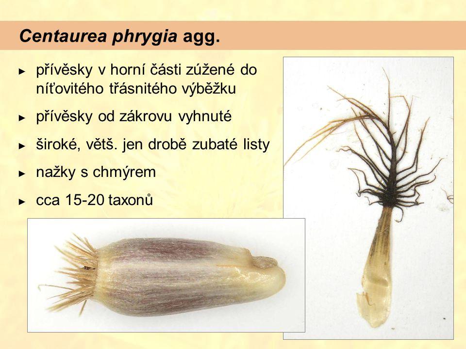 Centaurea phrygia agg. ► přívěsky v horní části zúžené do níťovitého třásnitého výběžku ► přívěsky od zákrovu vyhnuté ► široké, větš. jen drobě zubaté