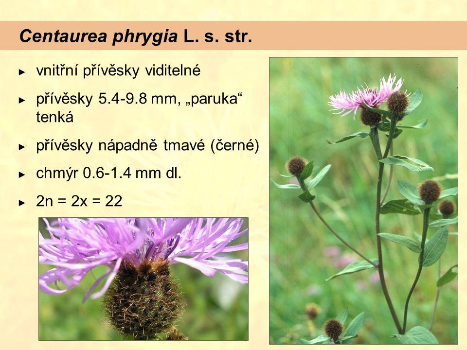 """Centaurea phrygia L. s. str. ► vnitřní přívěsky viditelné ► přívěsky 5.4-9.8 mm, """"paruka"""" tenká ► přívěsky nápadně tmavé (černé) ► chmýr 0.6-1.4 mm dl"""