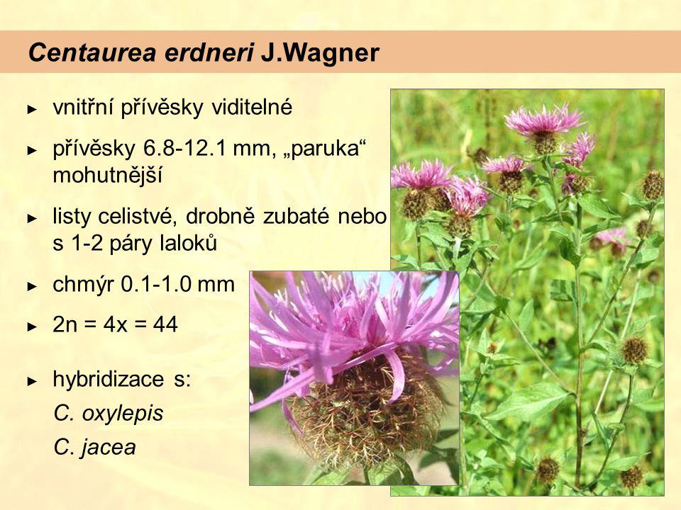 """Centaurea erdneri J.Wagner ► vnitřní přívěsky viditelné ► přívěsky 6.8-12.1 mm, """"paruka mohutnější ► listy celistvé, drobně zubaté nebo s 1-2 páry laloků ► chmýr 0.1-1.0 mm ► 2n = 4x = 44 ► hybridizace s: C."""
