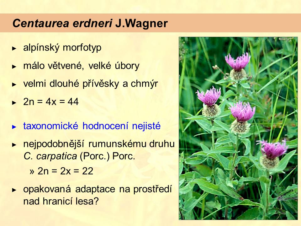 Centaurea erdneri J.Wagner ► alpínský morfotyp ► málo větvené, velké úbory ► velmi dlouhé přívěsky a chmýr ► 2n = 4x = 44 ► taxonomické hodnocení nejisté ► nejpodobnější rumunskému druhu C.
