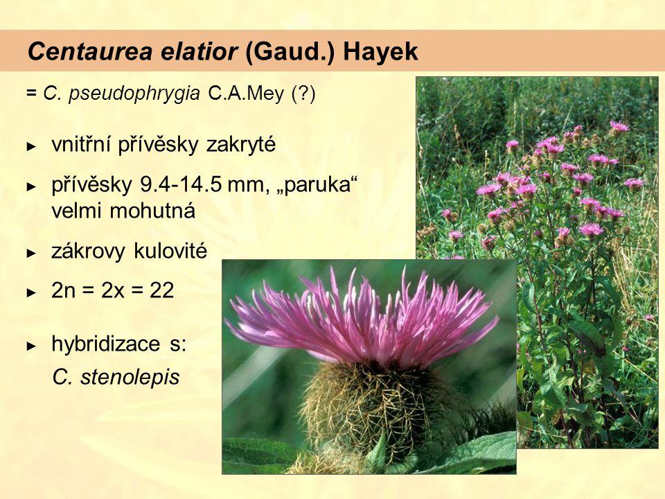"""Centaurea elatior (Gaud.) Hayek = C. pseudophrygia C.A.Mey (?) ► vnitřní přívěsky zakryté ► přívěsky 9.4-14.5 mm, """"paruka"""" velmi mohutná ► zákrovy kul"""