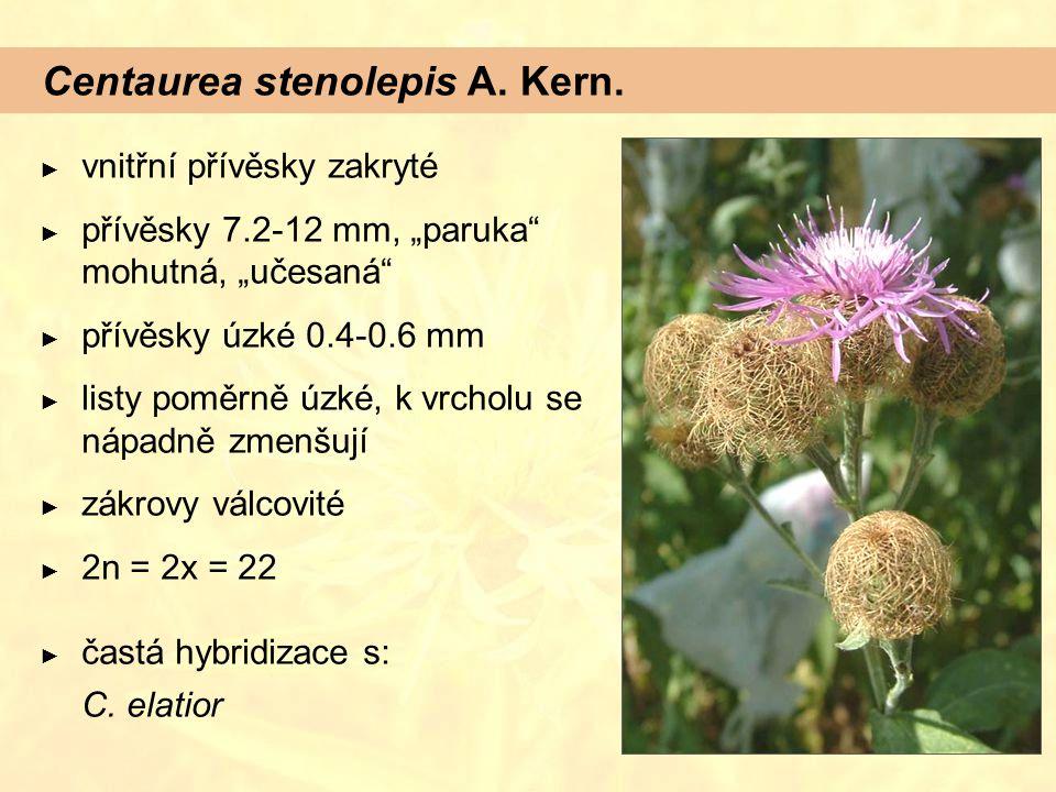 """Centaurea stenolepis A. Kern. ► vnitřní přívěsky zakryté ► přívěsky 7.2-12 mm, """"paruka"""" mohutná, """"učesaná"""" ► přívěsky úzké 0.4-0.6 mm ► listy poměrně"""