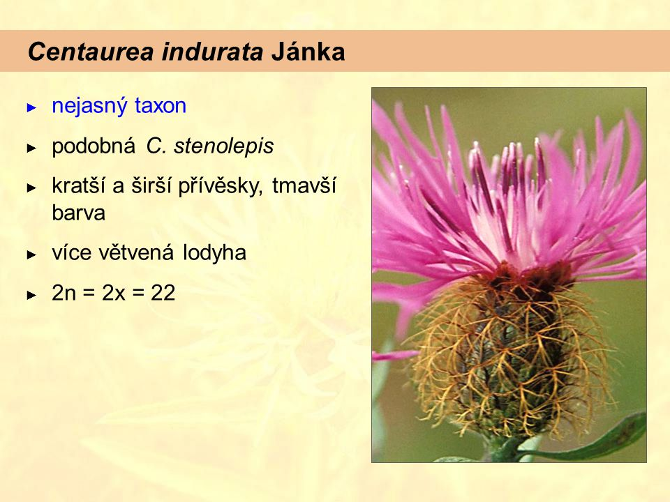 Centaurea indurata Jánka ► nejasný taxon ► podobná C. stenolepis ► kratší a širší přívěsky, tmavší barva ► více větvená lodyha ► 2n = 2x = 22