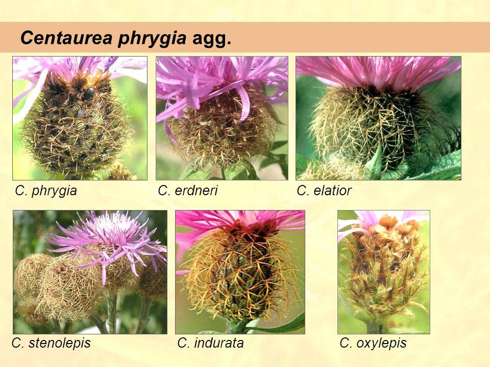 Centaurea phrygia agg. C. phrygiaC. elatiorC. erdneri C. stenolepisC. indurataC. oxylepis