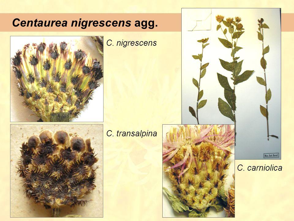 Centaurea nigrescens agg. C. nigrescens C. transalpina C. carniolica