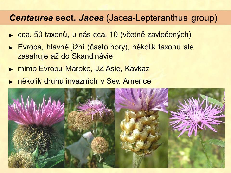 Centaurea sect. Jacea (Jacea-Lepteranthus group) ► cca. 50 taxonů, u nás cca. 10 (včetně zavlečených) ► Evropa, hlavně jižní (často hory), několik tax
