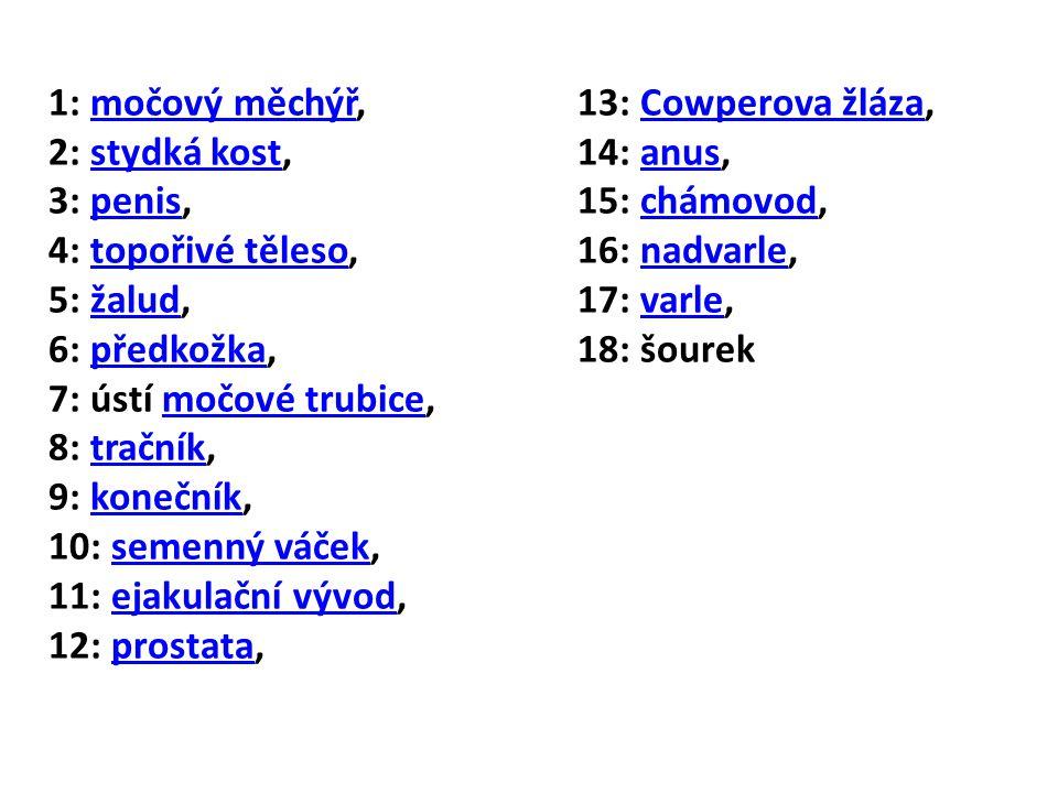 1: močový měchýř,13: Cowperova žláza,močový měchýřCowperova žláza 2: stydká kost, 14: anus,stydká kostanus 3: penis,15: chámovod,penischámovod 4: topořivé těleso, 16: nadvarle,topořivé tělesonadvarle 5: žalud,17: varle,žaludvarle 6: předkožka,18: šourekpředkožka 7: ústí močové trubice,močové trubice 8: tračník,tračník 9: konečník,konečník 10: semenný váček,semenný váček 11: ejakulační vývod,ejakulační vývod 12: prostata,prostata