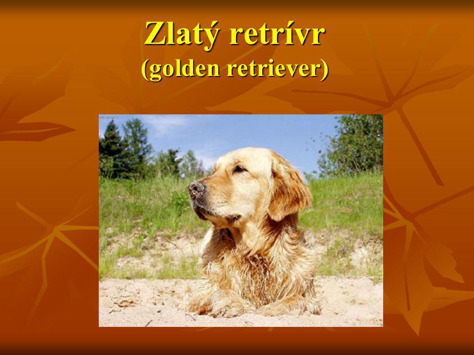 Charakteristika Zlatého retrívra Zlatý retrívr je otužilý a tvrdě pracující pes.