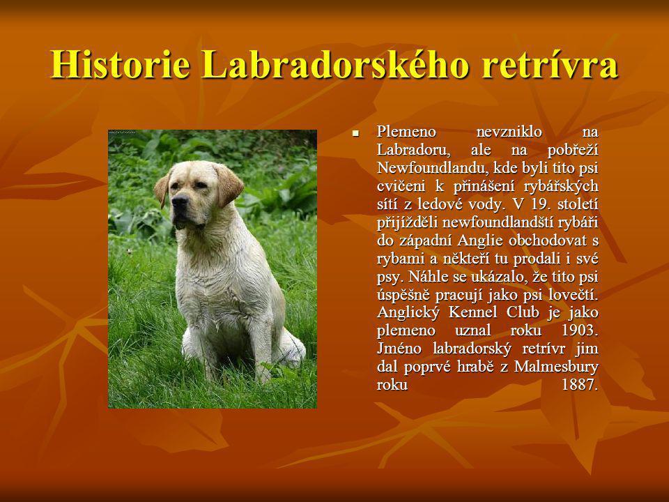 Historie Labradorského retrívra Plemeno nevzniklo na Labradoru, ale na pobřeží Newfoundlandu, kde byli tito psi cvičeni k přinášení rybářských sítí z