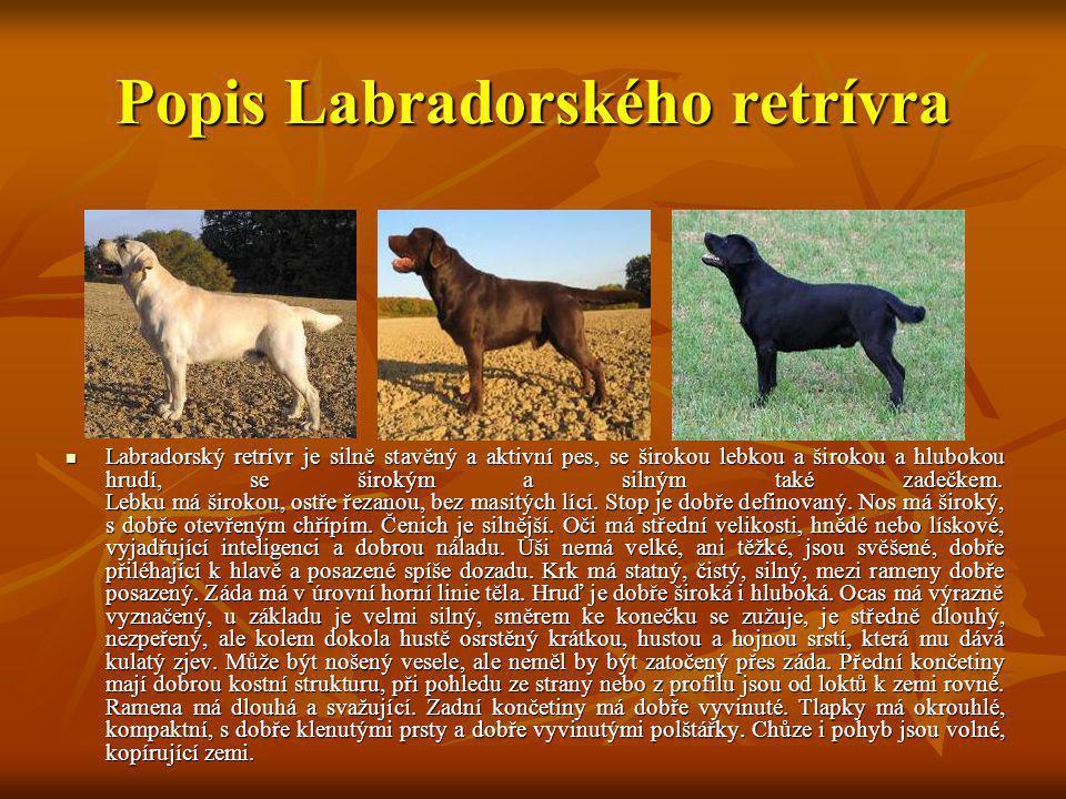 Popis Labradorského retrívra Labradorský retrívr je silně stavěný a aktivní pes, se širokou lebkou a širokou a hlubokou hrudí, se širokým a silným tak