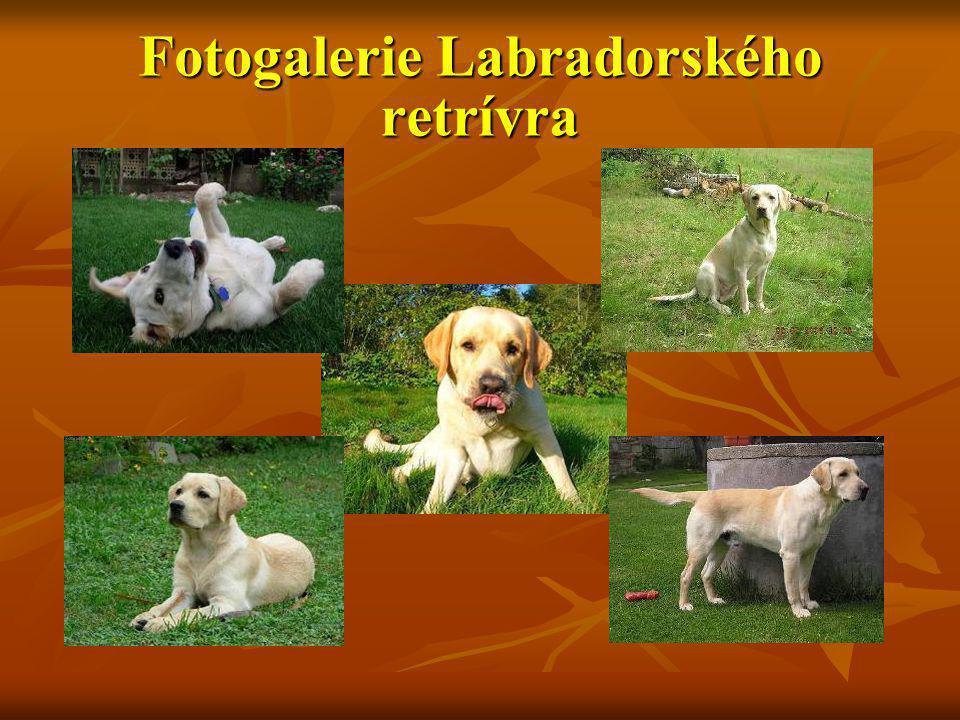 Fotogalerie Labradorského retrívra