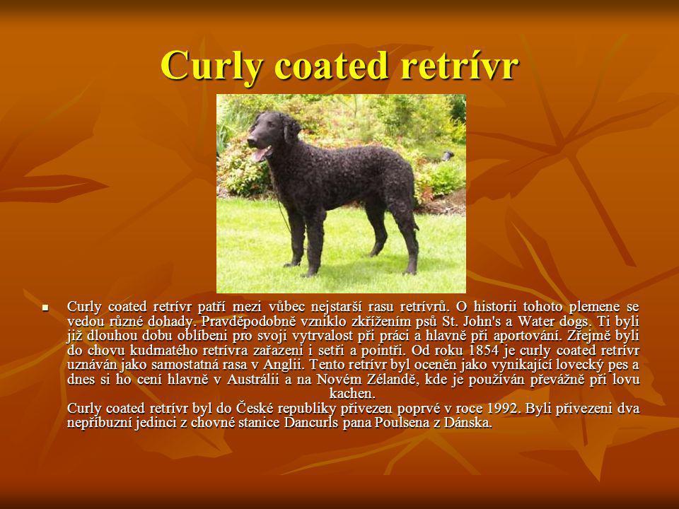 Curly coated retrívr Curly coated retrívr patří mezi vůbec nejstarší rasu retrívrů. O historii tohoto plemene se vedou různé dohady. Pravděpodobně vzn