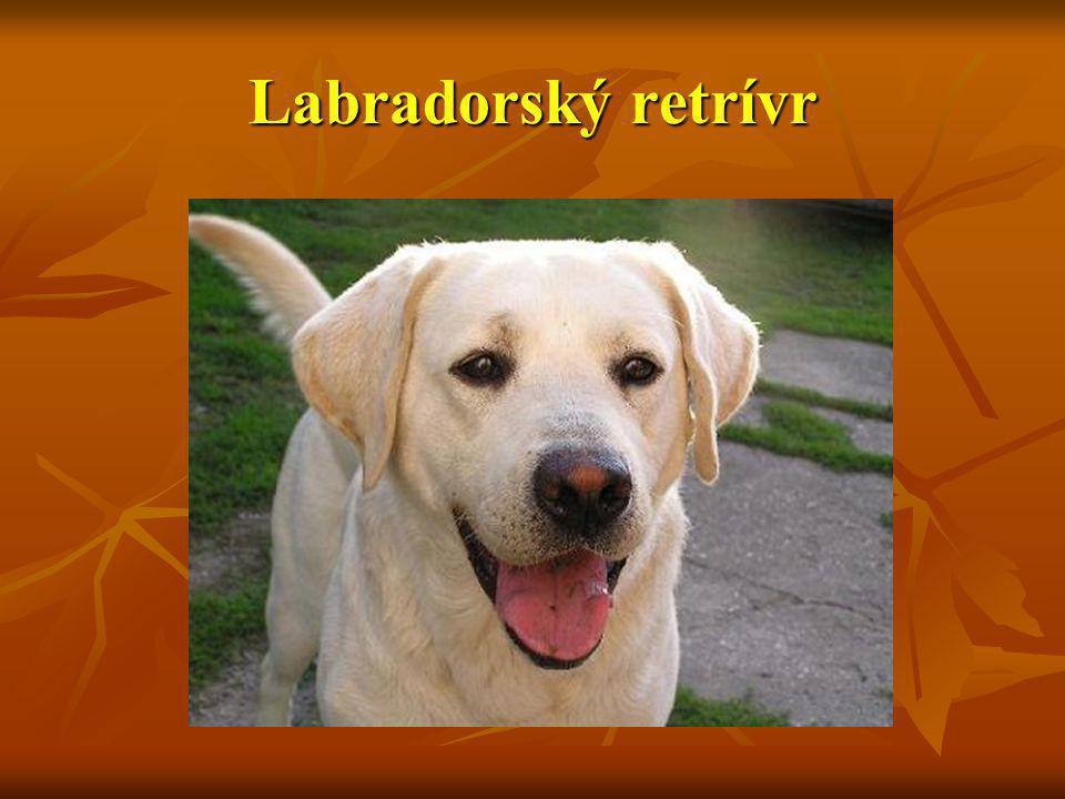 Charakteristika Labradorského retrívra Pro svou všestrannost je labrador nejznámější retrívr.