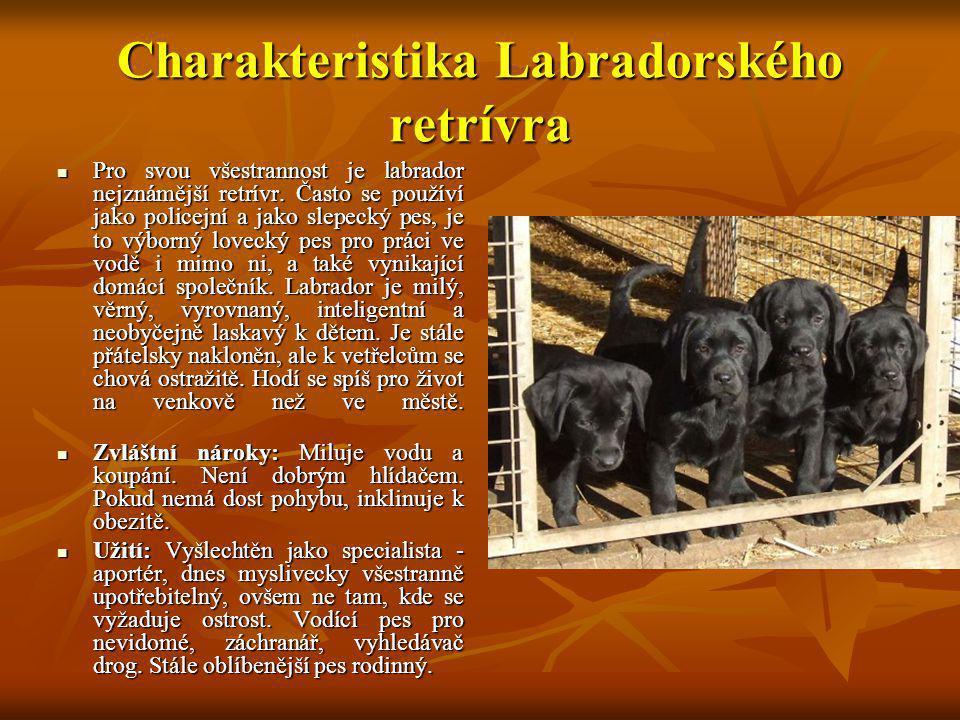 Charakteristika Labradorského retrívra Pro svou všestrannost je labrador nejznámější retrívr. Často se používí jako policejní a jako slepecký pes, je