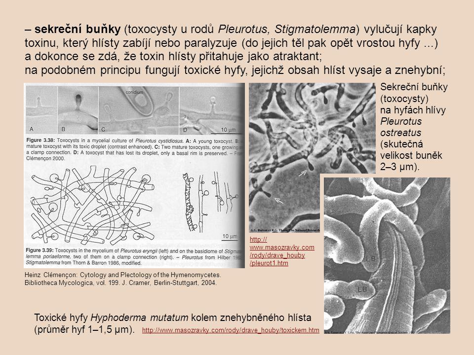 – sekreční buňky (toxocysty u rodů Pleurotus, Stigmatolemma) vylučují kapky toxinu, který hlísty zabíjí nebo paralyzuje (do jejich těl pak opět vrostou hyfy...) a dokonce se zdá, že toxin hlísty přitahuje jako atraktant; na podobném principu fungují toxické hyfy, jejichž obsah hlíst vysaje a znehybní; http:// www.masozravky.com /rody/drave_houby /pleurot1.htm http://www.masozravky.com/rody/drave_houby/toxickem.htm Toxické hyfy Hyphoderma mutatum kolem znehybněného hlísta (průměr hyf 1–1,5 µm).