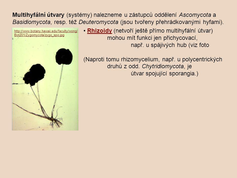 Multihyfální útvary (systémy) nalezneme u zástupců oddělení Ascomycota a Basidiomycota, resp. též Deuteromycota (jsou tvořeny přehrádkovanými hyfami).