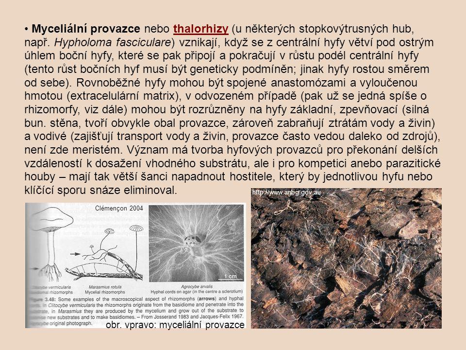 Myceliální provazce nebo thalorhizy (u některých stopkovýtrusných hub, např. Hypholoma fasciculare) vznikají, když se z centrální hyfy větví pod ostrý