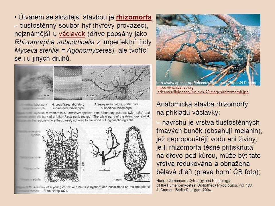 Útvarem se složitější stavbou je rhizomorfa rhizomorfa – tlustostěnný soubor hyf (hyfový provazec), nejznámější u václavek (dříve popsány jakováclavek
