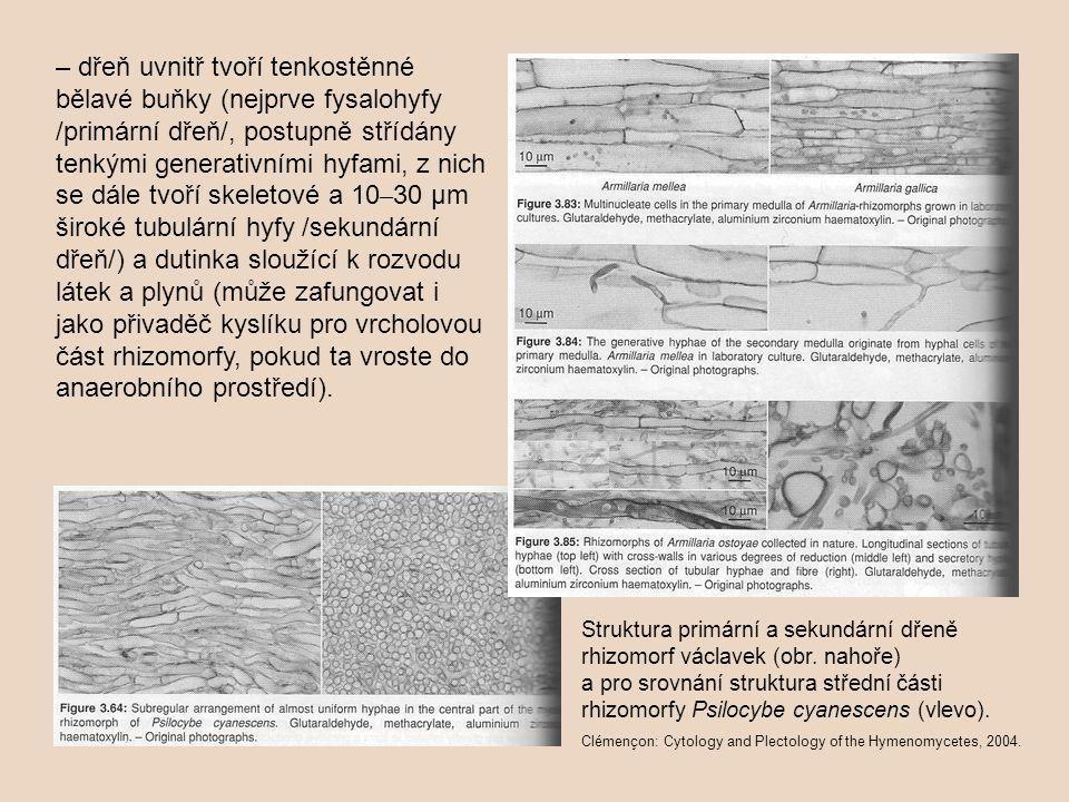 – dřeň uvnitř tvoří tenkostěnné bělavé buňky (nejprve fysalohyfy /primární dřeň/, postupně střídány tenkými generativními hyfami, z nich se dále tvoří skeletové a 10 – 30 µm široké tubulární hyfy /sekundární dřeň/) a dutinka sloužící k rozvodu látek a plynů (může zafungovat i jako přivaděč kyslíku pro vrcholovou část rhizomorfy, pokud ta vroste do anaerobního prostředí).