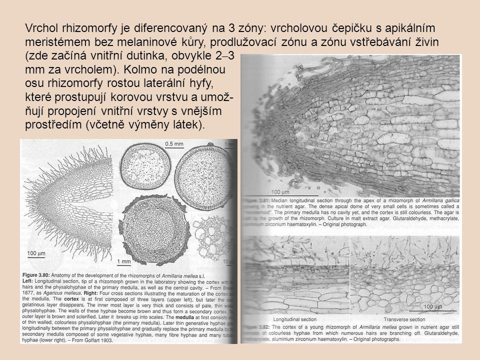 Vrchol rhizomorfy je diferencovaný na 3 zóny: vrcholovou čepičku s apikálním meristémem bez melaninové kůry, prodlužovací zónu a zónu vstřebávání živin (zde začíná vnitřní dutinka, obvykle 2 – 3 mm za vrcholem).