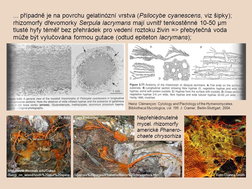 ... případně je na povrchu gelatinózní vrstva (Psilocybe cyanescens, viz šipky); rhizomorfy dřevomorky Serpula lacrymans mají uvnitř tenkostěnné 10-50