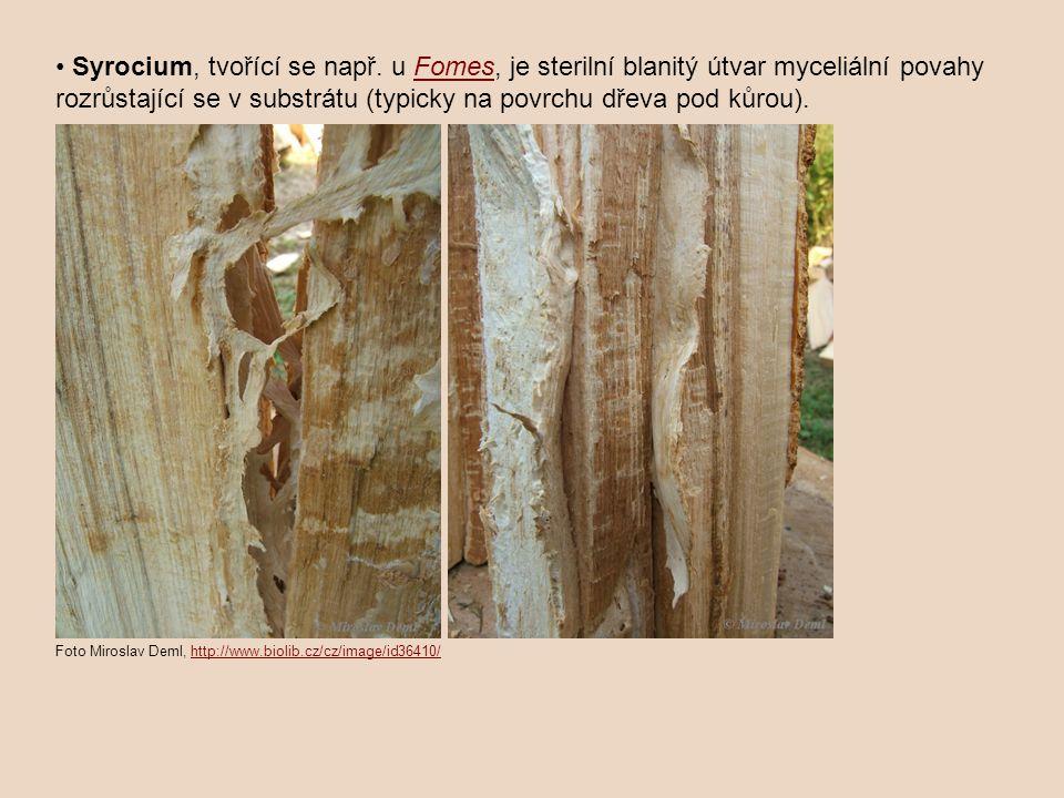 Syrocium, tvořící se např. u Fomes, je sterilní blanitý útvar myceliální povahy rozrůstající se v substrátu (typicky na povrchu dřeva pod kůrou).Fomes