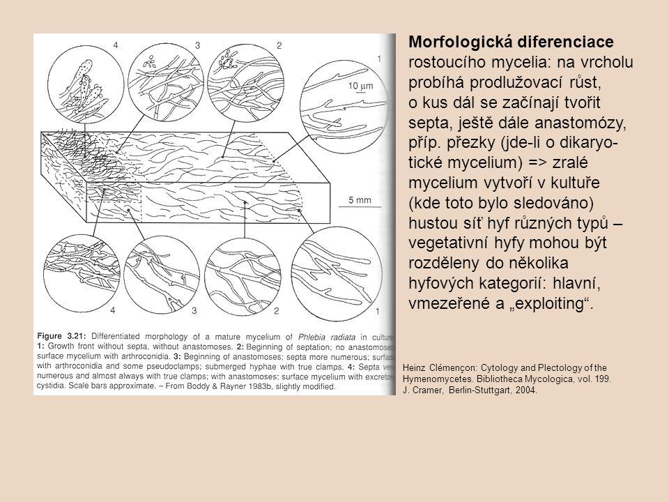 Morfologická diferenciace rostoucího mycelia: na vrcholu probíhá prodlužovací růst, o kus dál se začínají tvořit septa, ještě dále anastomózy, příp. p