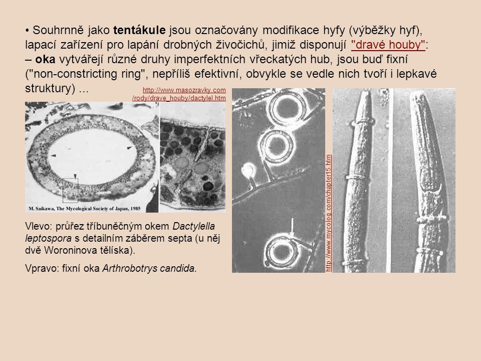 Souhrnně jako tentákule jsou označovány modifikace hyfy (výběžky hyf), lapací zařízení pro lapání drobných živočichů, jimiž disponují dravé houby : – oka vytvářejí různé druhy imperfektních vřeckatých hub, jsou buď fixní ( non ‑ constricting ring , nepříliš efektivní, obvykle se vedle nich tvoří i lepkavé struktury)... dravé houby Vlevo: průřez tříbuněčným okem Dactylella leptospora s detailním záběrem septa (u něj dvě Woroninova tělíska).