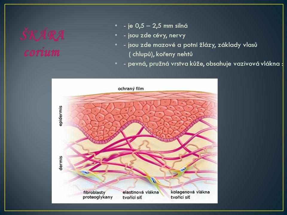 - je 0,5 – 2,5 mm silná - jsou zde cévy, nervy - jsou zde mazové a potní žlázy, základy vlasů ( chlupů), kořeny nehtů - pevná, pružná vrstva kůže, obsahuje vazivová vlákna :