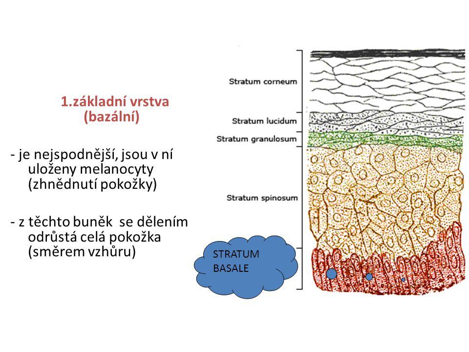 1.základní vrstva (bazální) - je nejspodnější, jsou v ní uloženy melanocyty (zhnědnutí pokožky) - z těchto buněk se dělením odrůstá celá pokožka (směrem vzhůru) STRATUM BASALE