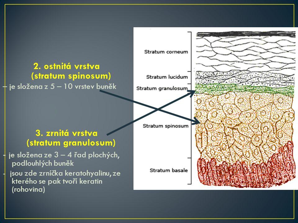 2.ostnitá vrstva (stratum spinosum) – je složena z 5 – 10 vrstev buněk 3.