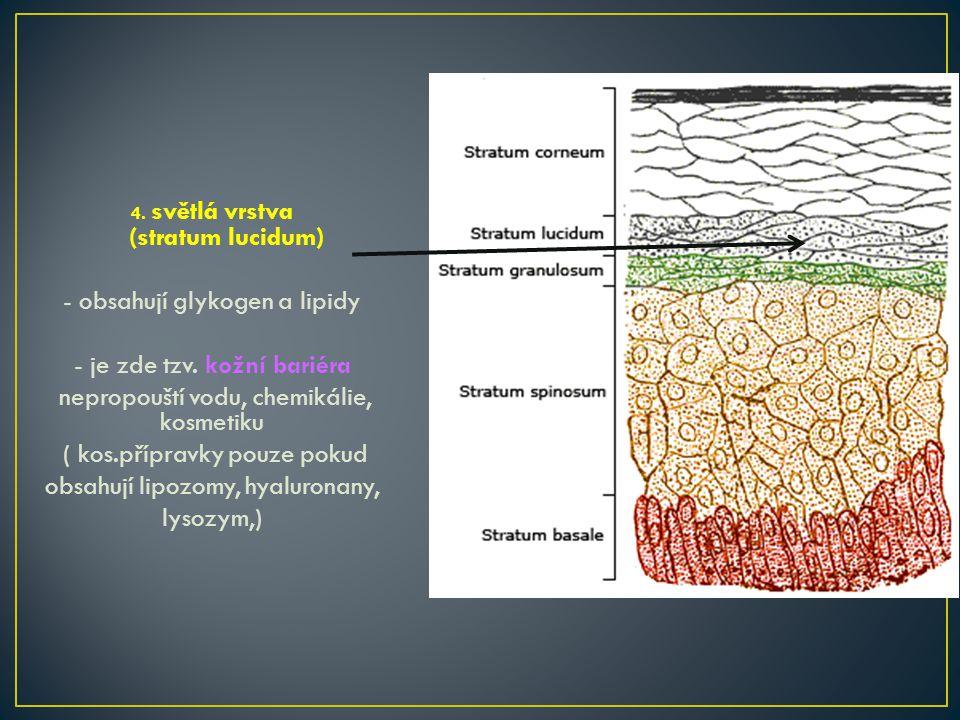 4.světlá vrstva (stratum lucidum) - obsahují glykogen a lipidy - je zde tzv.