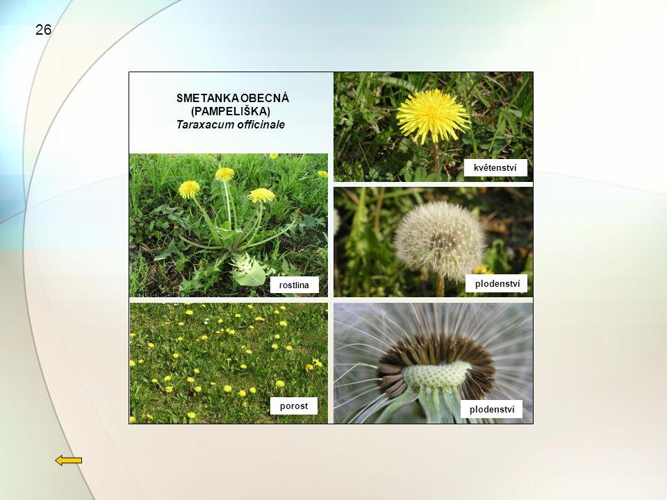 26 rostlina porost květenství plodenství SMETANKA OBECNÁ (PAMPELIŠKA) Taraxacum officinale