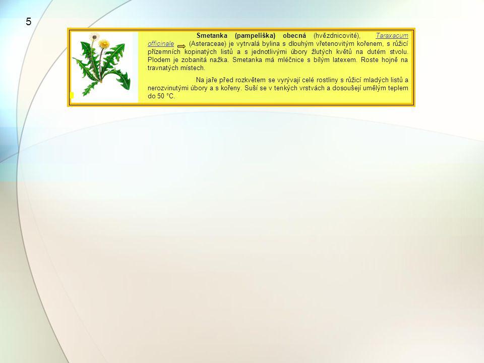 Smetanka (pampeliška) obecná (hvězdnicovité), Taraxacum officinale (Asteraceae) je vytrvalá bylina s dlouhým vřetenovitým kořenem, s růžicí přízemních