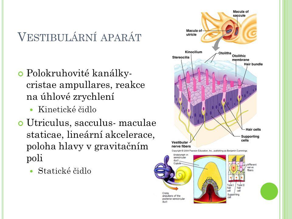 V ESTIBULÁRNÍ APARÁT Polokruhovité kanálky- cristae ampullares, reakce na úhlové zrychlení Kinetické čidlo Utriculus, sacculus- maculae staticae, lineární akcelerace, poloha hlavy v gravitačním poli Statické čidlo