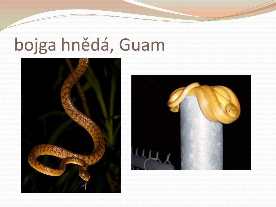 bojga hnědá, Guam