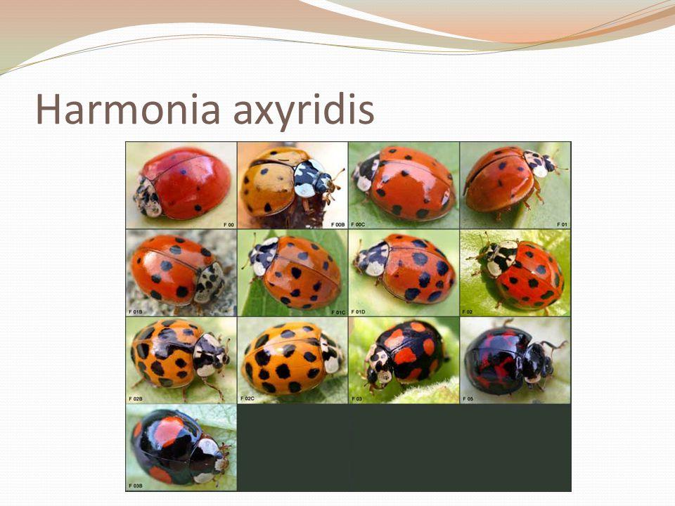 Harmonia axyridis