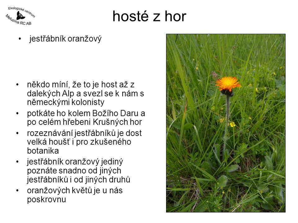 někdo míní, že to je host až z dalekých Alp a svezl se k nám s německými kolonisty potkáte ho kolem Božího Daru a po celém hřebeni Krušných hor rozeznávání jestřábníků je dost velká houšť i pro zkušeného botanika jestřábník oranžový jediný poznáte snadno od jiných jestřábníků i od jiných druhů oranžových květů je u nás poskrovnu hosté z hor jestřábník oranžový