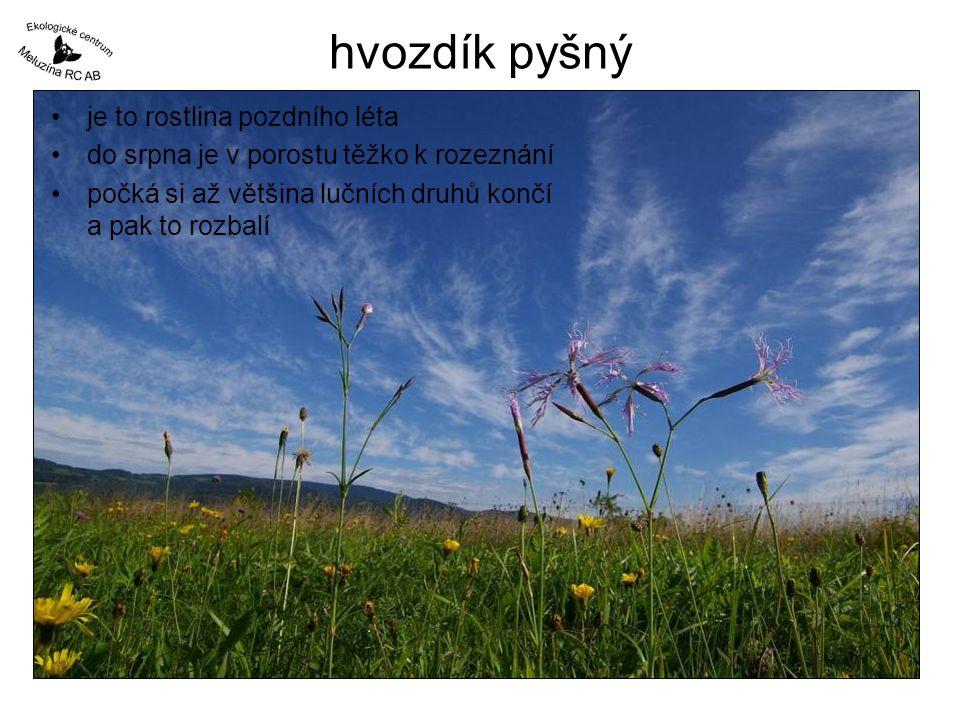 hvozdík pyšný je to rostlina pozdního léta do srpna je v porostu těžko k rozeznání počká si až většina lučních druhů končí a pak to rozbalí
