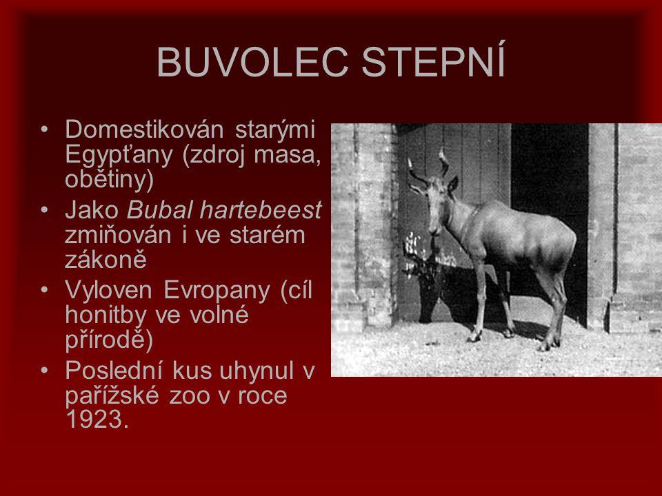 BUVOLEC STEPNÍ Domestikován starými Egypťany (zdroj masa, obětiny) Jako Bubal hartebeest zmiňován i ve starém zákoně Vyloven Evropany (cíl honitby ve
