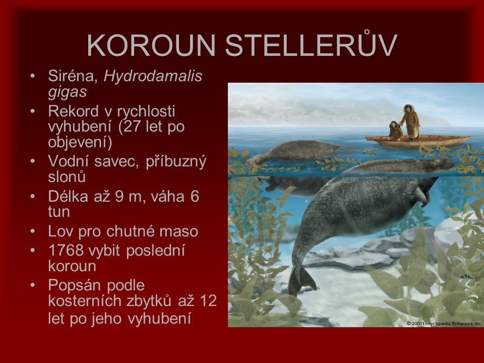 KOROUN STELLERŮV Siréna, Hydrodamalis gigas Rekord v rychlosti vyhubení (27 let po objevení) Vodní savec, příbuzný slonů Délka až 9 m, váha 6 tun Lov
