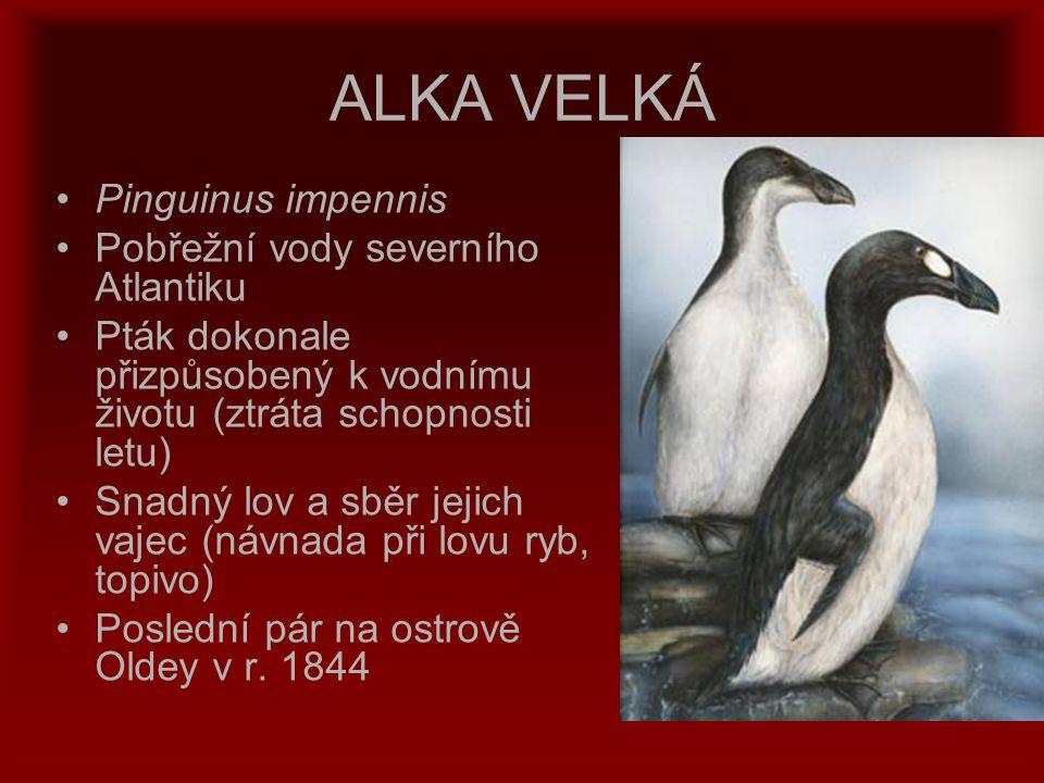ALKA VELKÁ Pinguinus impennis Pobřežní vody severního Atlantiku Pták dokonale přizpůsobený k vodnímu životu (ztráta schopnosti letu) Snadný lov a sběr