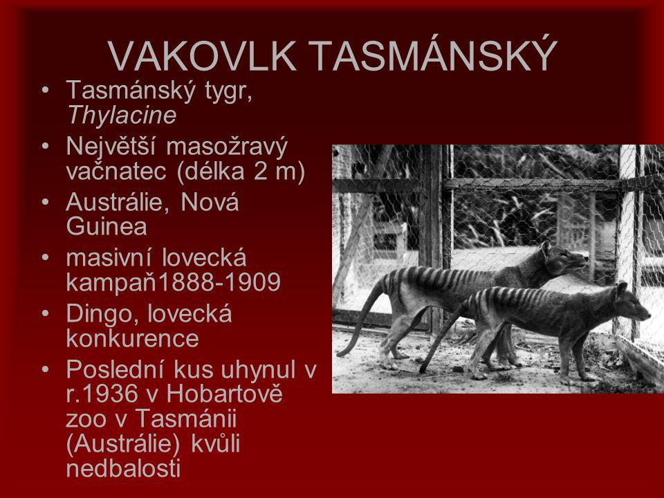 VAKOVLK TASMÁNSKÝ Tasmánský tygr, Thylacine Největší masožravý vačnatec (délka 2 m) Austrálie, Nová Guinea masivní lovecká kampaň1888-1909 Dingo, love